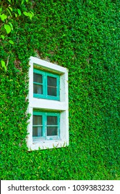 White window in house covered with green ivy and wood bench in green field. window covered with green ivy Natural green leaf grass cover wall with white window background, Eco friendly backdrop