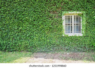 white window on green wall with climbing plant background