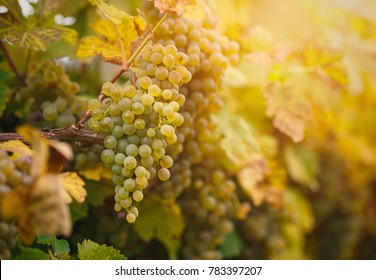 White wine grape leaved for making of Ice wine, Austria