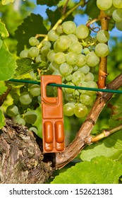 White wine grape with pheromone trap