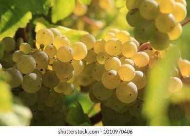 White wine grape in vineyard