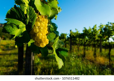 white wine grapes at vineyard