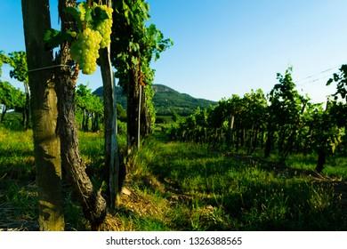 white wine grapes at vineyard,  Balaton highland, Badacsony mountain at background, Europe, Hungary
