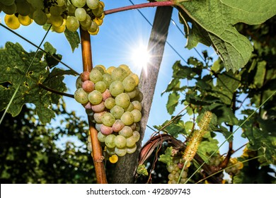 White wine grapes in vineyard on a sunny day in autumn harvest