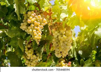 White wine: Vine with ripe grapes just before harvest, Sauvignon Blanc grapevine