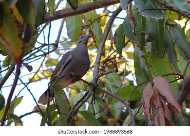 A white winged turtledove in a tree