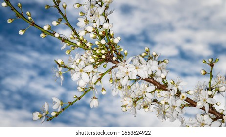 White winter flowering ornamental cherry blossom against a blue sky with clouds.