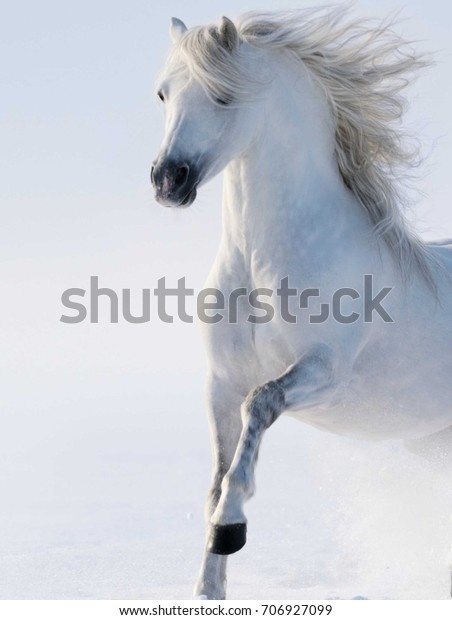 White Winter Horse Walking Snow Wallpaper Stock Photo Edit