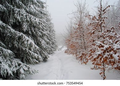White winter scene. Trail or path leading through two colors forest green and brown trees, conifer and leaf types. Tracks on snowy road. Hike in the mountains, fog and snowflakes.