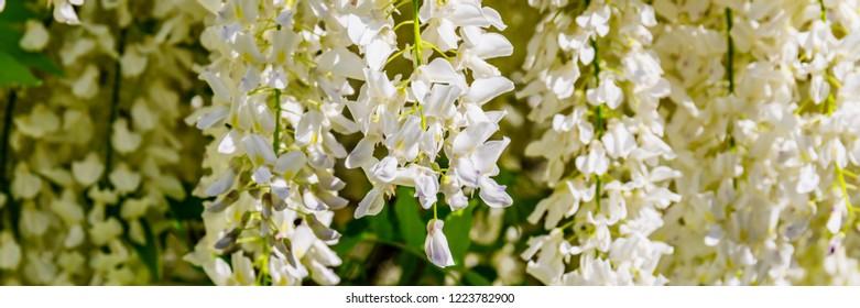 White Wisteria blossom, banner.  Japanese Wisteria floribunda var. Shiro Noda flowers, close up