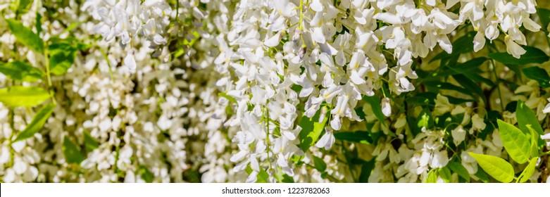 White Wisteria blossom, close up banner.  Japanese Wisteria floribunda var. Shiro Noda flowers
