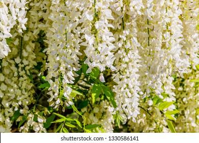 White Wisteria blossom in garden, close up. Japanese Wisteria floribunda var. Shiro Noda flowers