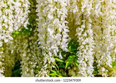 White Wisteria blossom in garden. Japanese Wisteria floribunda var. Shiro Noda flowers
