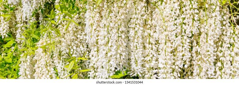 White Wisteria blossom in garden. Japanese Wisteria floribunda var. Shiro Noda, banner