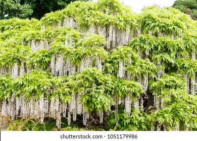 White Wisteria in full bloom, It beautiful image at Ashikaga flower park,Tochigi prefecture, Japan