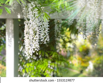 A white wisteria hanging within a trellis and a sparkling sun burst shining through the faded background.