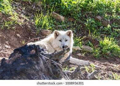 White wolf or arctic wolf close up in nature