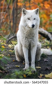 White wolf with autumn colored background