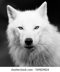 White Wolf in Black and White