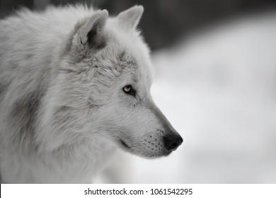 White wolf during winter portrait