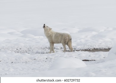 The white wolf howling in Yellowstone National Park.