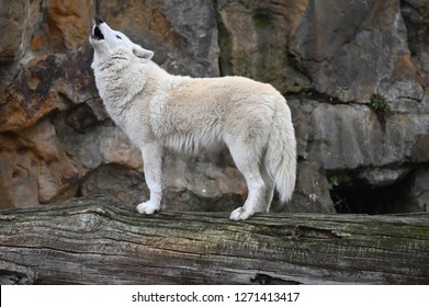 a white wolf howls