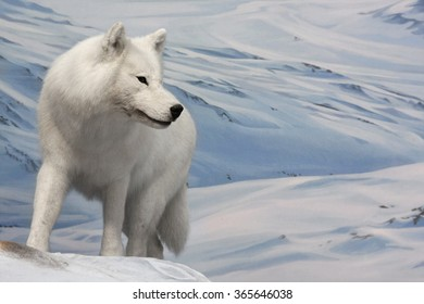 a white wolf is hunting