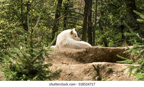 White wolf lying on the hill watching who disturbs him