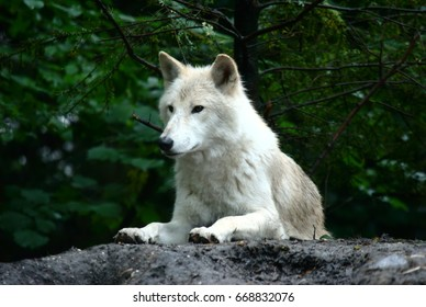 White wolf on a rock