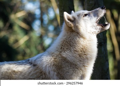 White wolf with open mouth