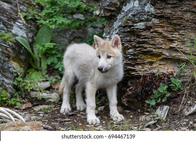 A White Wolf Puppy in Montana