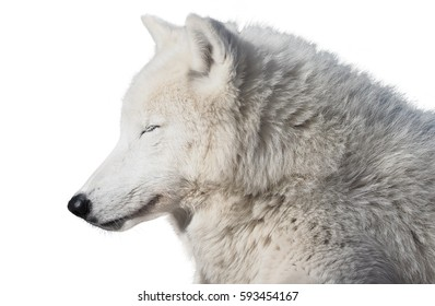 White wolf sleeping isolated at white