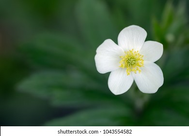 White flower yellow center images stock photos vectors shutterstock white wood anemone flower with yellow center on blurred background of green leaves anemone quinquefolia mightylinksfo