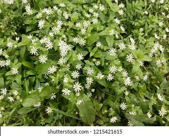 White wood aster (Aster divaricatus). Small white flowers are like stars.