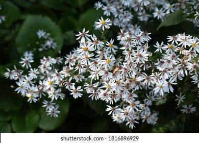 White wood aster or Aster divaricatus with white star-shaped flowers