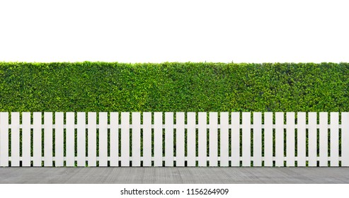 White wooden fence with green bush isolated on white background,  Green leaves wall with white parallel plank.