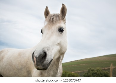 White work horse looking at the camera closeup of his face with sky background.