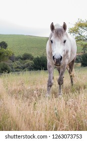 White work horse standing in a field grazing and facing the camera full length looking up at the camera.