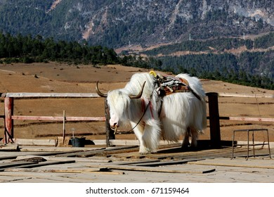 White Yak or Jamari  in Qubing snow mountain country village far away from civilization this village have more animals than people, location in Tibet - China border, Yunnan China