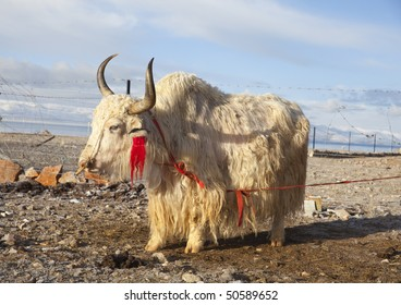 A white yak in the morning of the Tibetan plateau