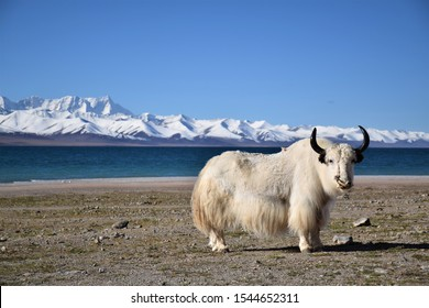 White yak in Namtso lake, Tibet. Namtso is the largest lake in the Tibet Autonomous Region