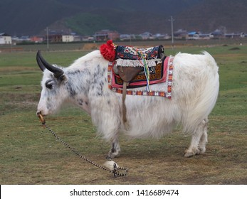 A White Yak is standing in a farm,China