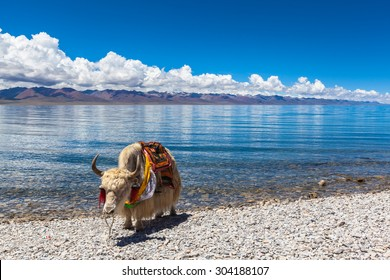 White yak standing on the lakeside of Namtso, Tibet, China