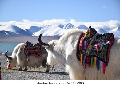 White yaks in Namtso lake, Tibet. Namtso is the largest lake in the Tibet Autonomous Region