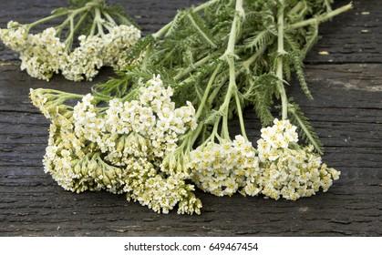 White Yarrow (Achillea millefolium) flowers on the table.
