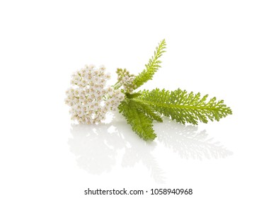 White Yarrow (Achillea millefolium) a Native Wildflower Isolated on White background. Achillea millefolium, medicinal plant.