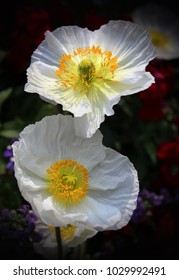 WHITE AND YELLOW ANEMONE FLOWERS