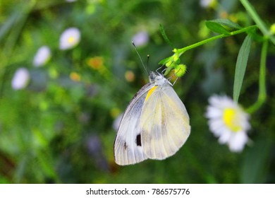 White and yellow butterflies are on small flowers.