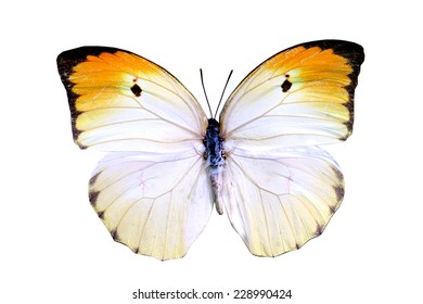 white yellow butterfly isolated, set of realistic tropical butterfly and insect, zoology,wild ,entomology, alive exotic with beautiful wing collection ,insect animal stuff icon,bug life