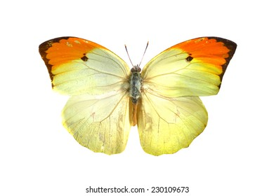 white yellow   butterfly isolated, set of realistic amazing tropical butterflies and alive  bug , zoology,wild ,entomology, beautiful wing collection ,insect animal stuff icon
